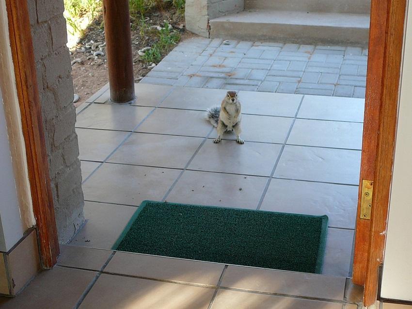 Groundsquirrel at door Mata Mata Kgalagadi Transfrontier Park.JPG