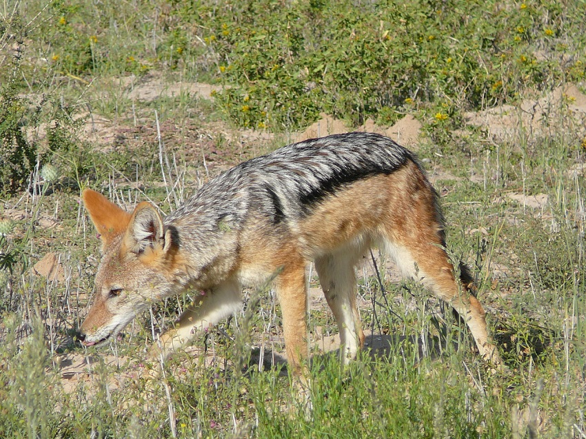 Jackal sniffing the ground