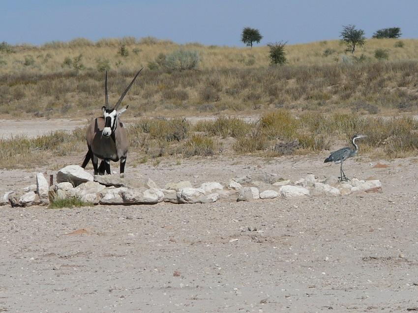 Grey egret and Gemsbok at waterhole