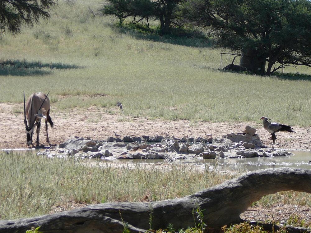 Gemsbok and Secretary bird (the gemsbok is always photobombing!)