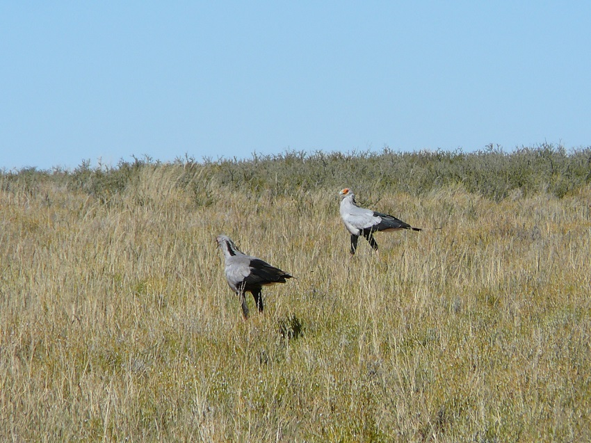 The secretary birds put on quite a show for us, dancing and prancing.