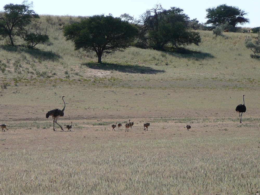 Ostriches and chicks Kgalagadi Transfrontier Park
