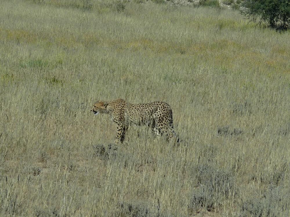 Cheetah Kgalagadi Transfrontier Park.JPG