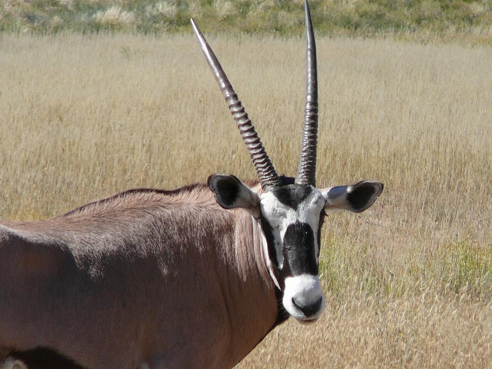 Love the markings on a gemsbok