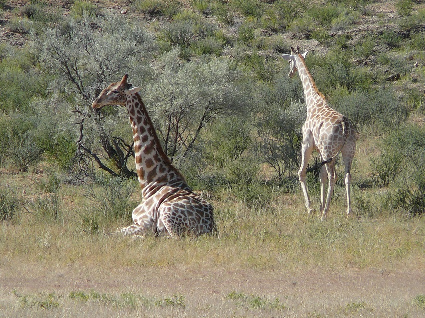 Giraffe resting in the heat of day