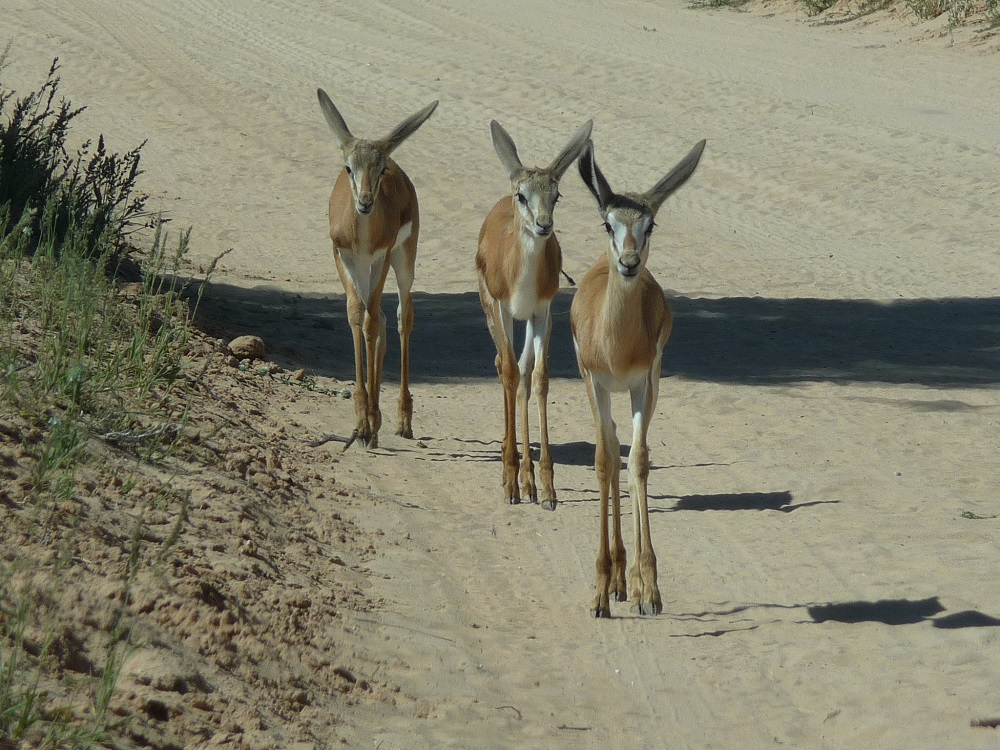Springbok have such spindly little legs