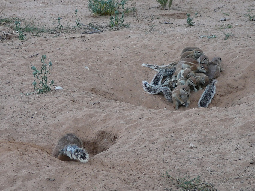 So many holes dug by the ground squirrel