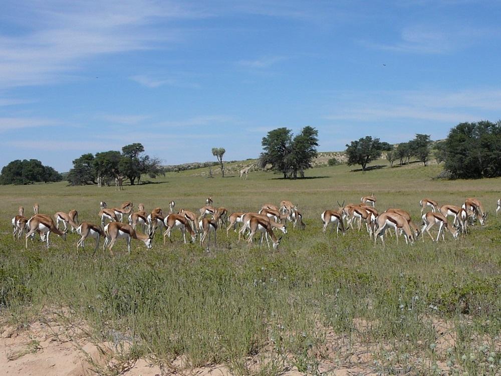 What a sight! A herd of sprinbok & giraffe on the plains of the Kalahari