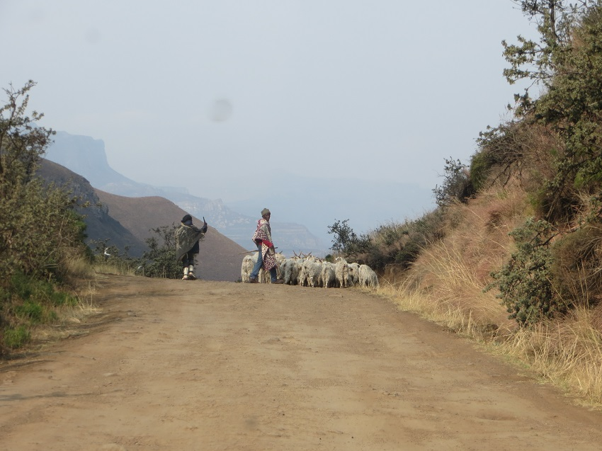 The goats were rushed off the road by the herders so we could pass
