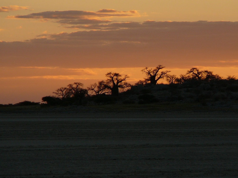 Silhouette of baobabs standing out in the sunset