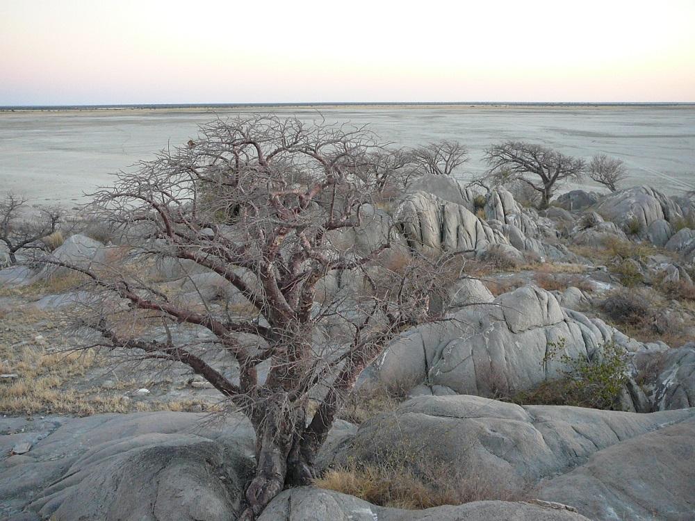 Baobab tree Kubu island.JPG