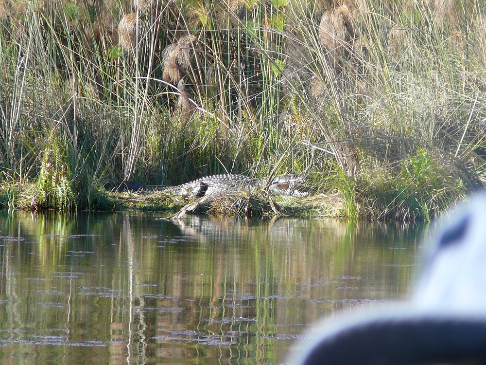 A real croc
