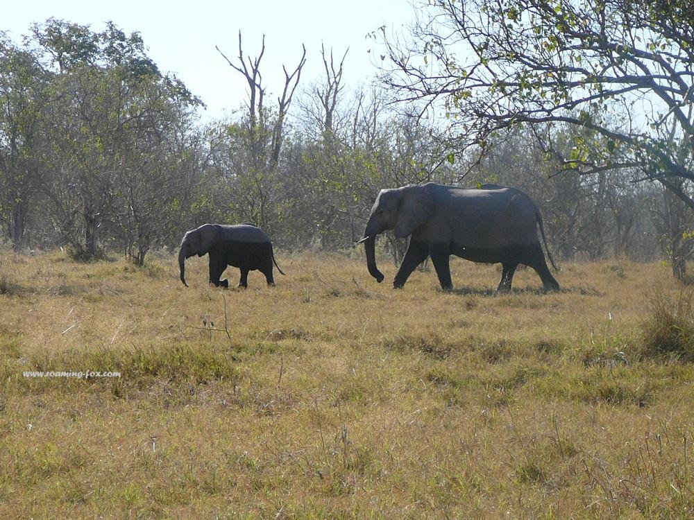 Half wet elephants in Moremi