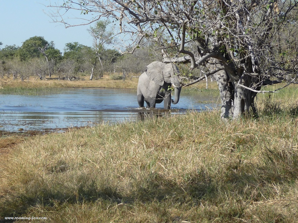 Elephant approaching us Moremi Game Reserve