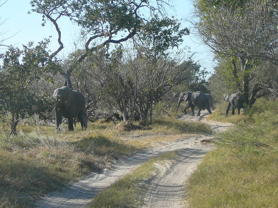 www.roaming-fox.com elephant Moremi game reserve.JPG