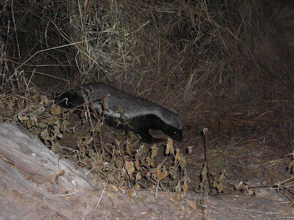 Honey badger visiting us while we sat around the campfire