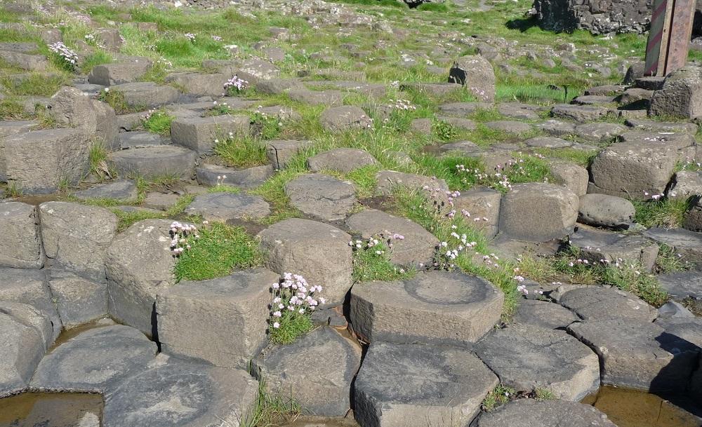 Giant's Causeway flowers amongs basalt colums.JPG