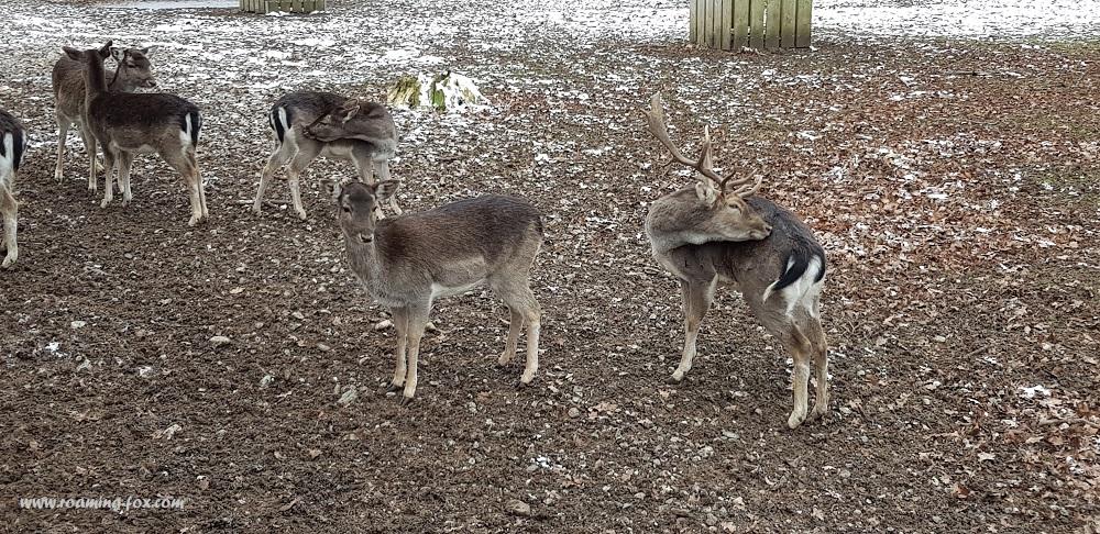 Reindeer in Hirschgarten