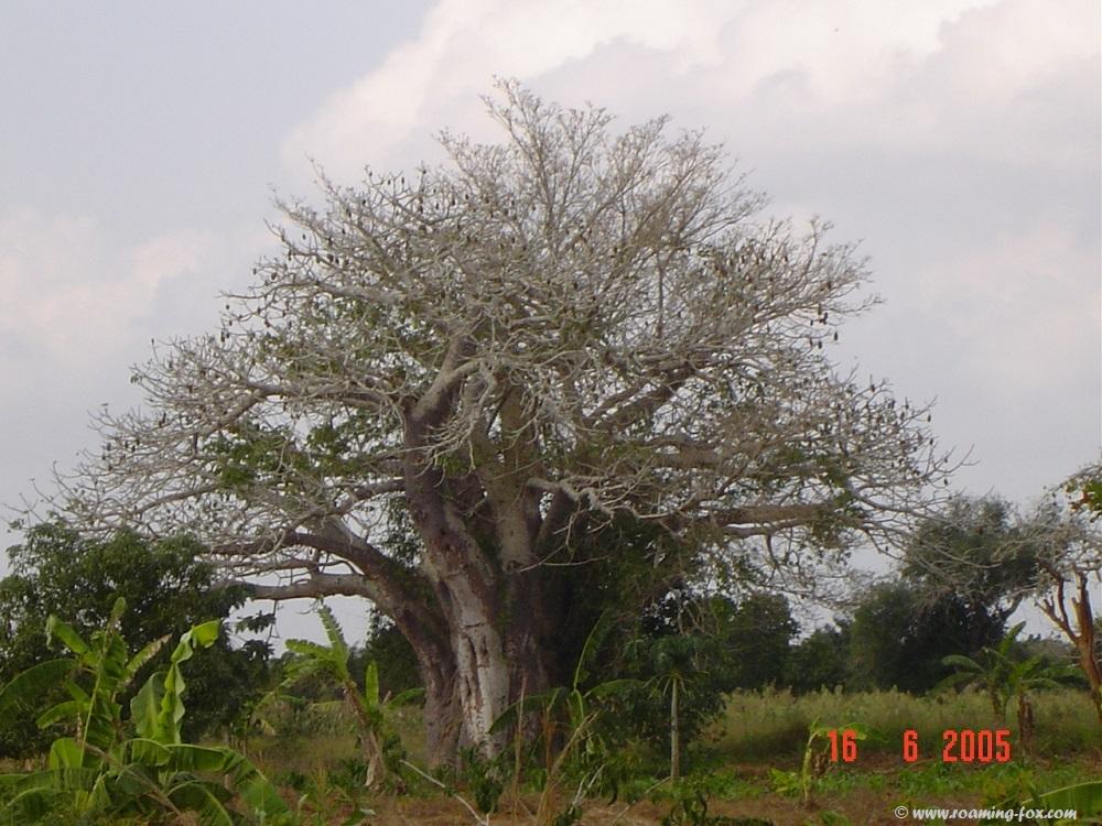 Baobab near Vilanculos