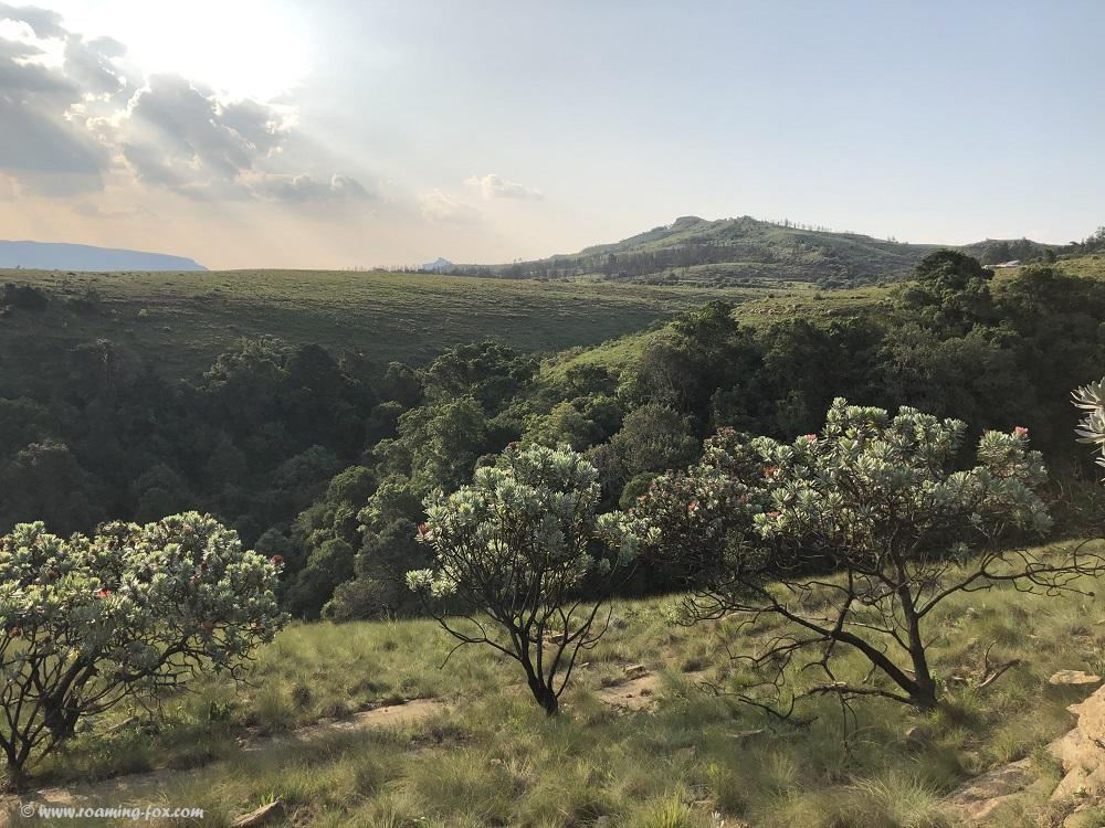 Proteas in the Drakensberg