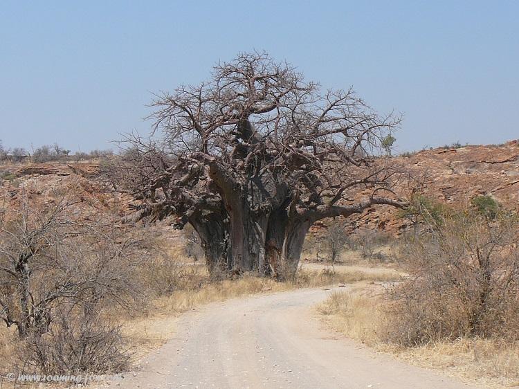 Giant baobab in Mapungubwe