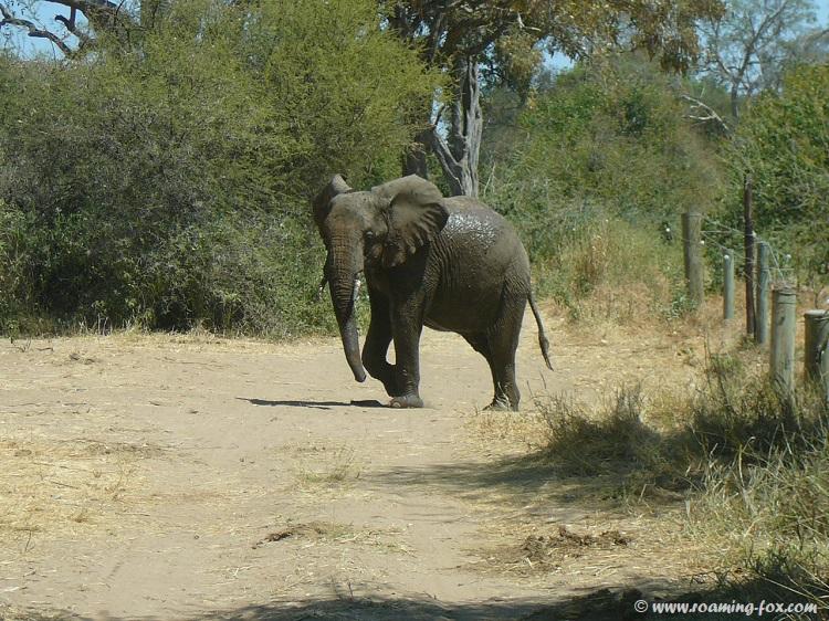 Elephant-crossed-river-into-Mapungubwe.JPG