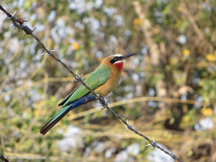 Birds - bee-eater