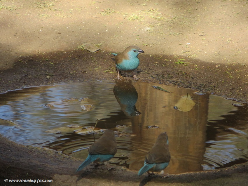 Waxbills drinking and bathing in the water