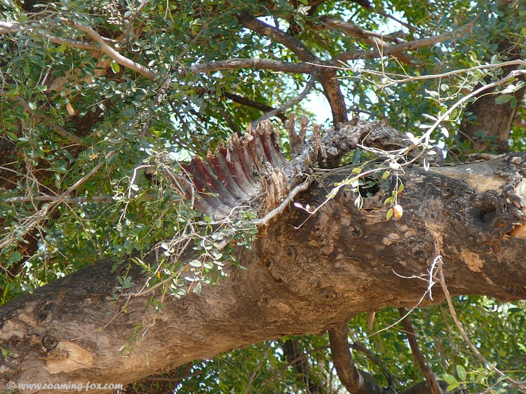 A carcass high in a tree - dinner for the leopard