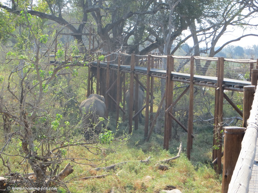 Elephant-under-treetop-boardwalk-Mapungubwe.JPG