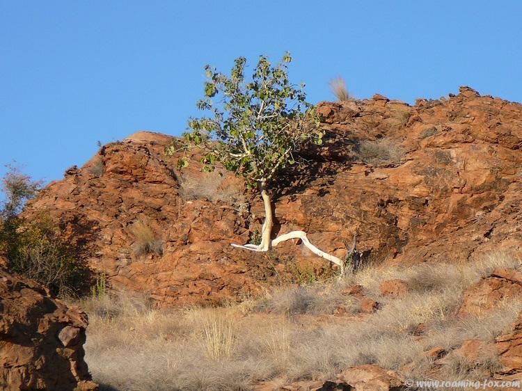 Fig-tree-growing-rocks.JPG