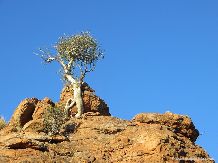 Fig-tree-Mapungubwe.JPG