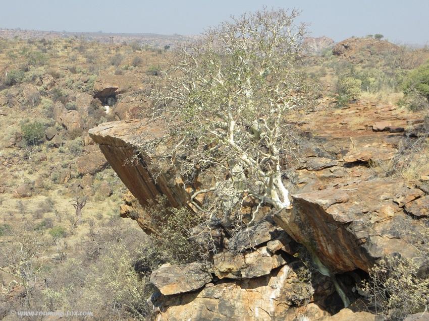 Wild-fig-ficus-rock-Mapungubwe.JPG