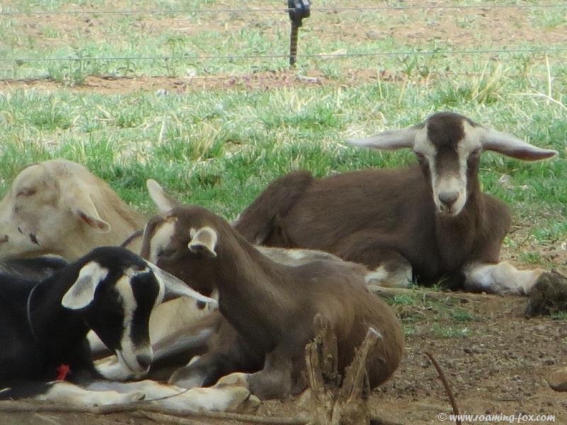 Geluksfontein-goats.JPG