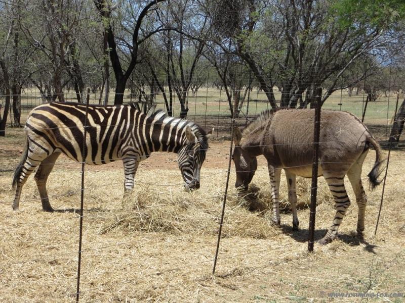 Zebra and Zonkey