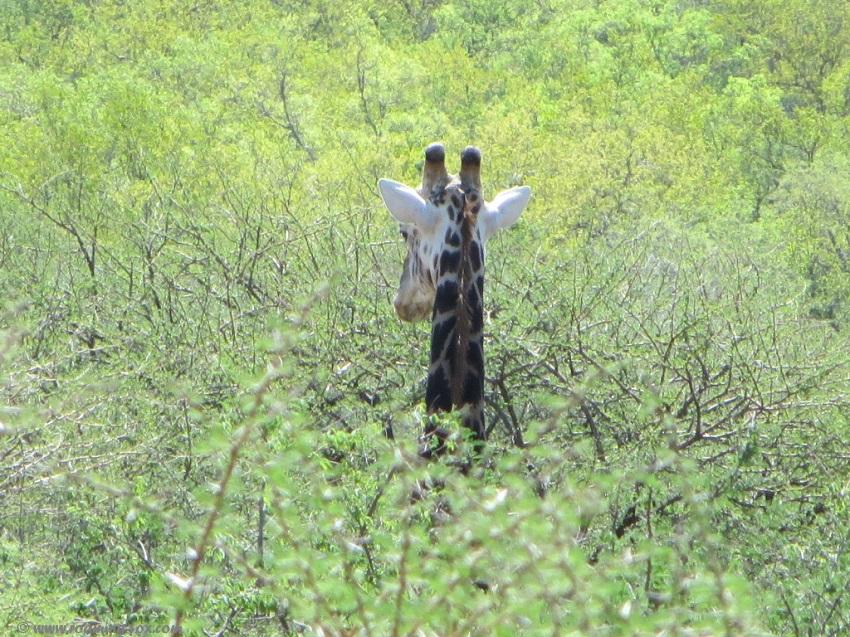 Giraffe-head-above-trees-Marakele.JPG