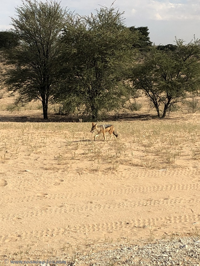 Black backed jackal at our campsite at Rooiputs