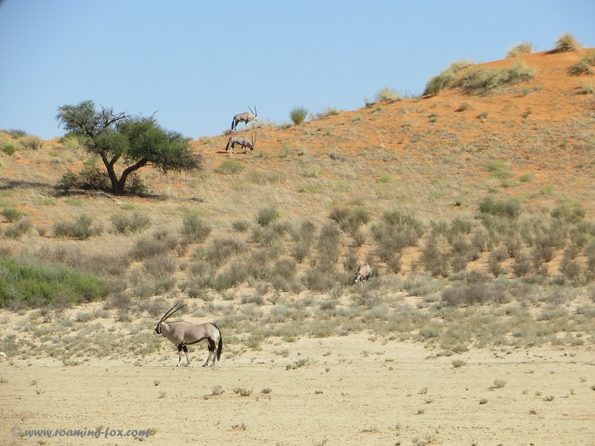 Gemsbok or oryx on the dunes