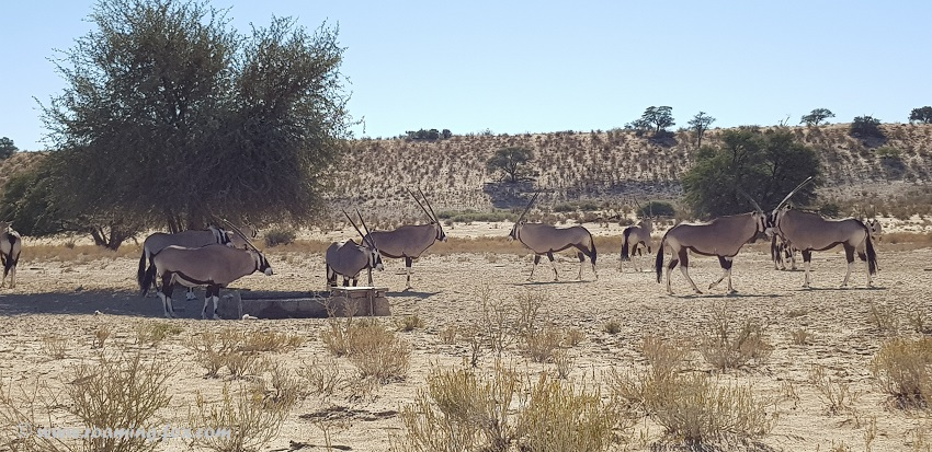 Gemsbok at a waterhole