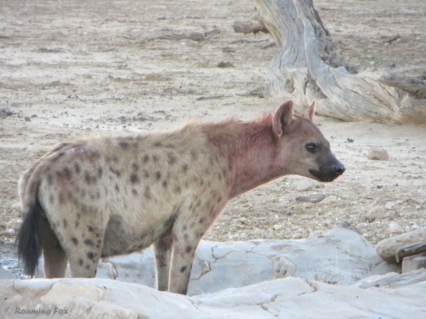 Spotted hyaena, fur still covered in blood from its early breakfast