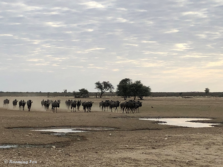 Wildebeest arrive at waterhole in a cloud of dust