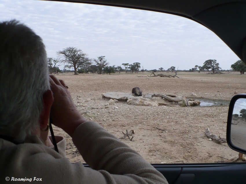 Special moments of a close sighting of brown hyaena