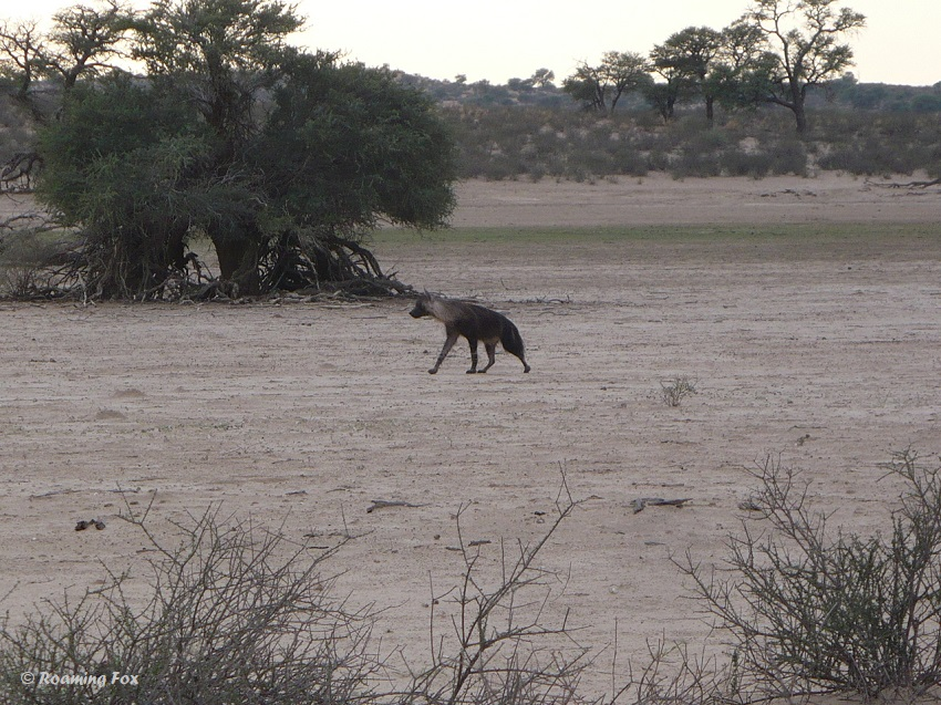 Brown hyaena walking towards Polentswa waterhole