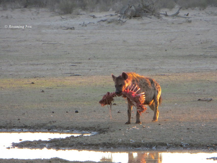 Spotted hyaena with a carcass