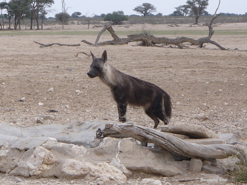 Brown-Hyaena-2-Polentswa-waterhole.JPG
