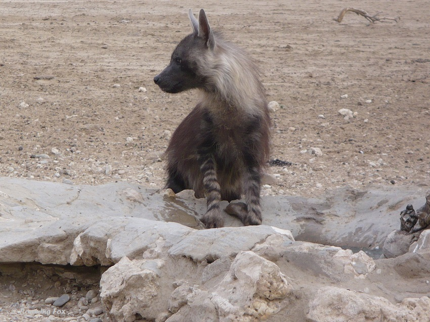 Brown-Hyaena-3-Polentswa-waterhole.JPG