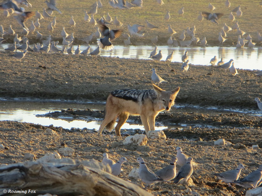 Jackal-waterhole-doves.JPG