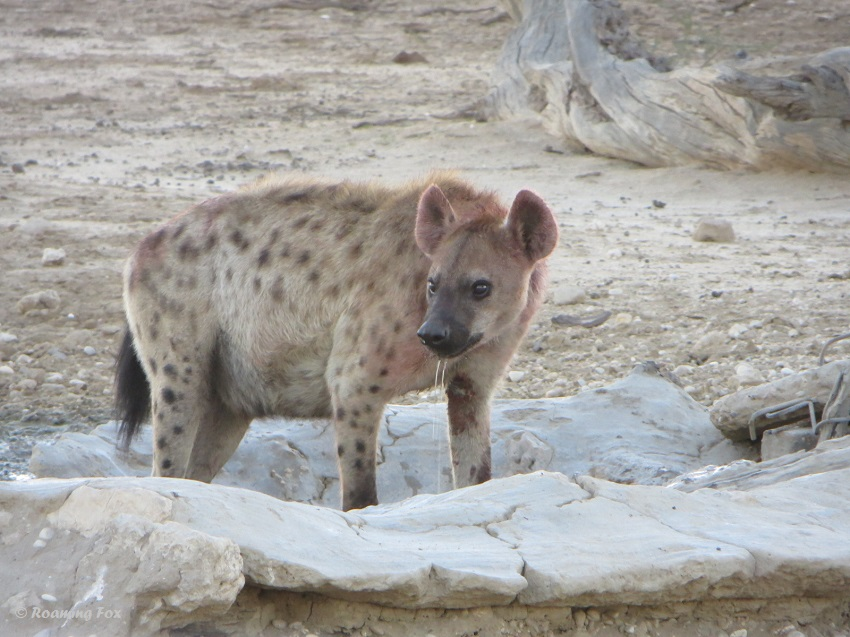 Spotted hyaena, belly full of food and water