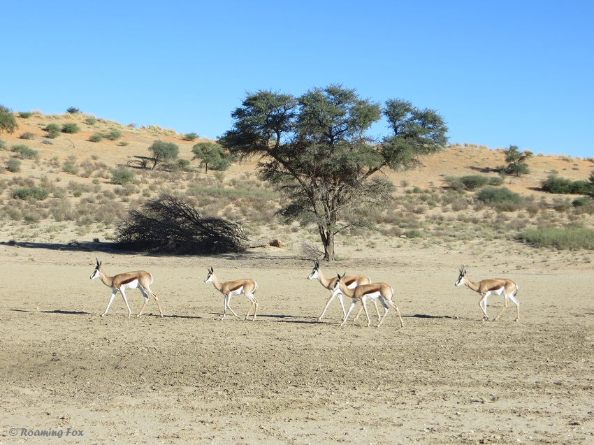 Springbok near Union's End