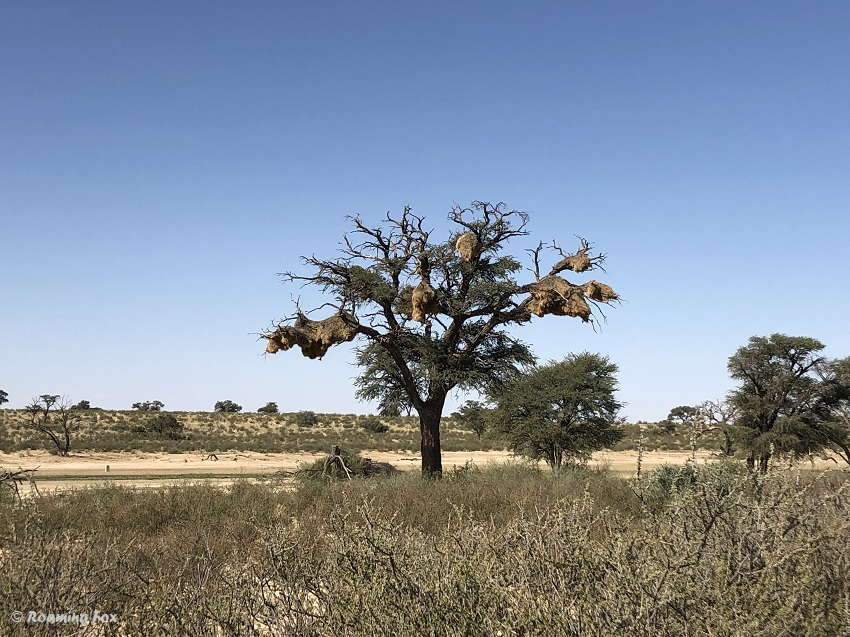 Sociable-weaver-nest-in-tree-Kgalagadi.JPG